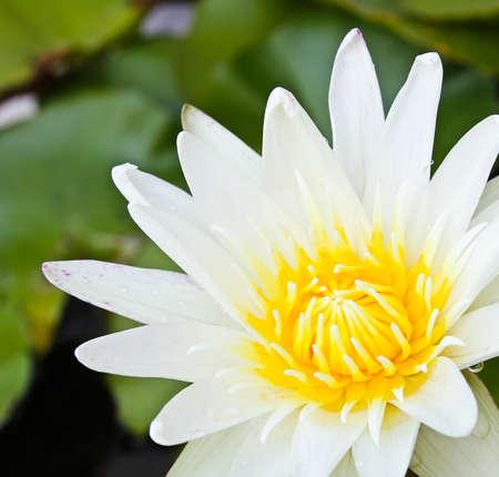 lilypad: White lotus flower.