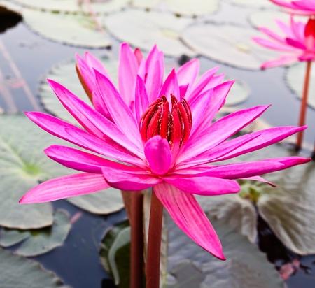 Pink lotus in lake Stock Photo - 12846798