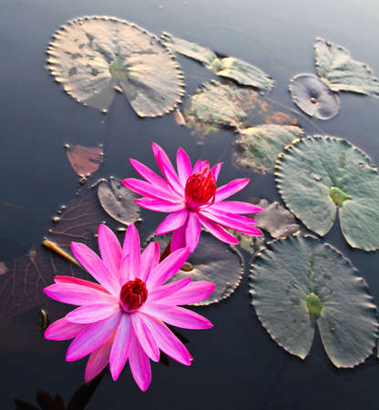 Pink lotus in lake photo