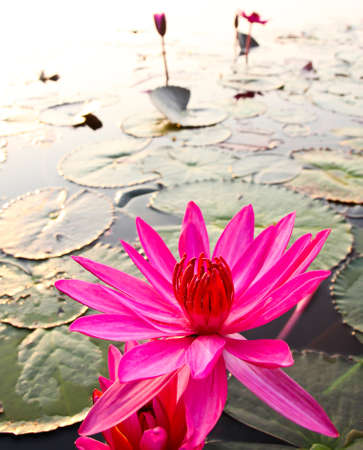 Pink lotus in lake Stock Photo - 12846634