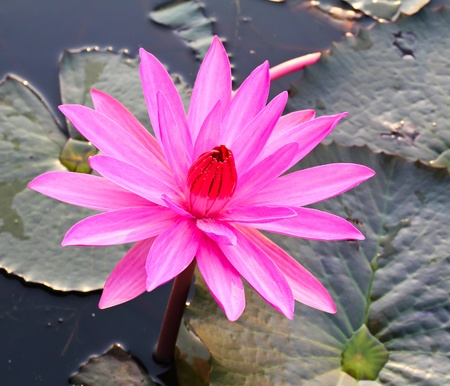 Pink lotus in lake Stock Photo - 12846791
