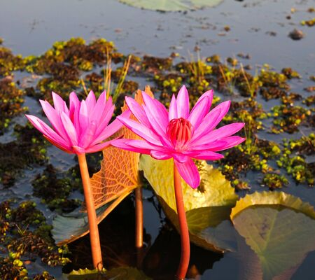 Pink lotus in lake Stock Photo - 12846802