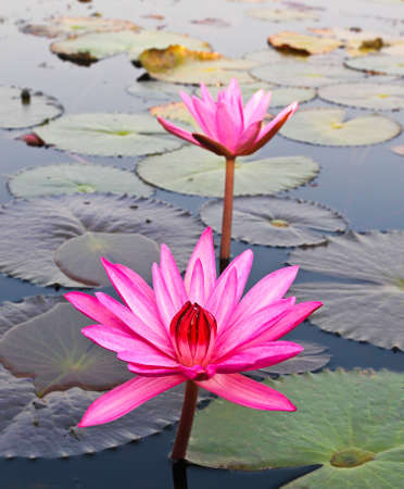 Pink lotus in lake Stock Photo - 12846788