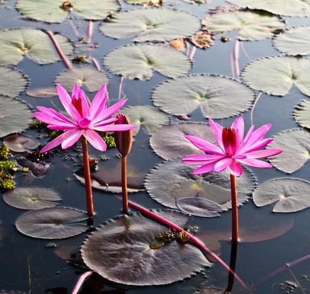 Pink lotus dans le lac
