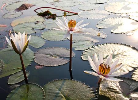 Lotus blanc dans le lac