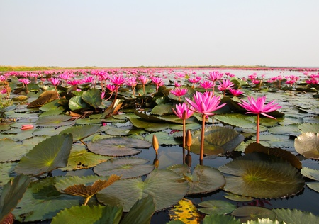 The Lake of water lily, Udonthani, Thailand 版權商用圖片
