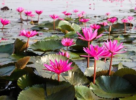 lirio de agua: El lago de los nen�fares, Udonthani, Tailandia Foto de archivo