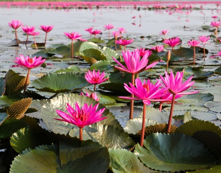 The Lake of water lily, Udonthani, Thailand Stock Photo