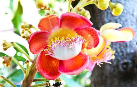 A flower from the unusual cannonball tree (Couroupita guianensis)
