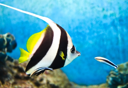 chelmon: A photo of tropical fish in an aquarium.