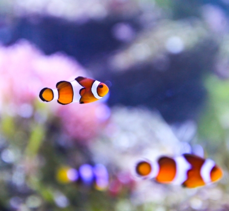 ocellaris: The Marine Fish - Ocellaris clownfish Editorial