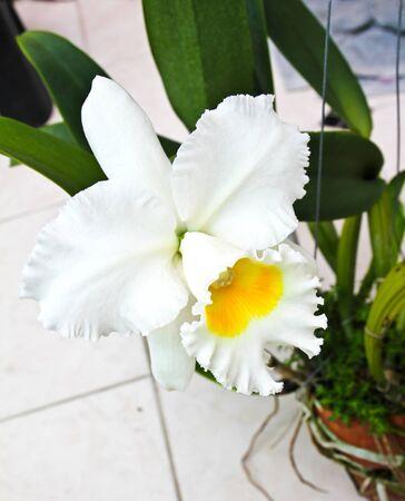 White Cattleya orchid Stock Photo