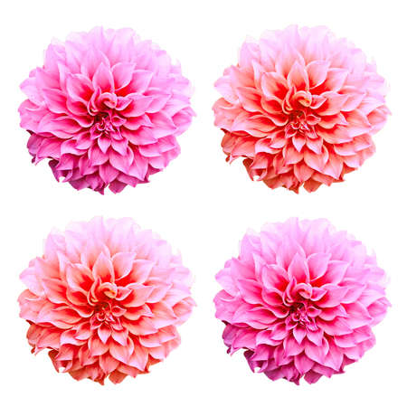 Dahlia flower isolated on white background.
