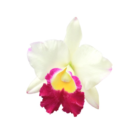 White Cattleya orchid isolated on white background.