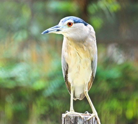 Beautiful view of a bird Black-crowned Night Heron Stock Photo - 16971107