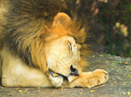 Gros plan sur la t�te d'un Sleeping Lion Homme dans le zoo.