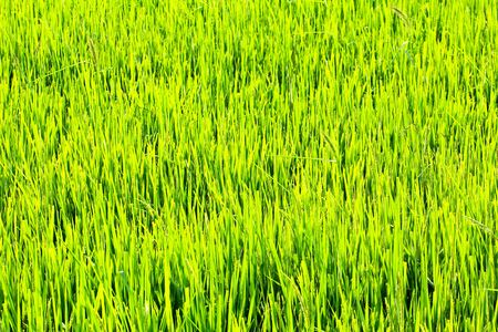 Paddy Rice Fields. photo