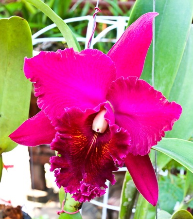 Violet cattleya orchid flower Stock Photo - 17474496