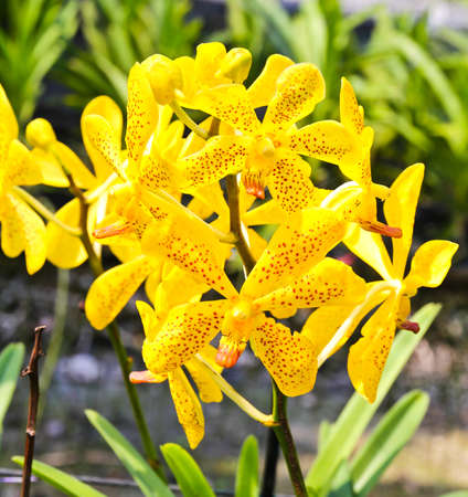 Beautiful yellow orchid in garden Stock Photo - 17474489