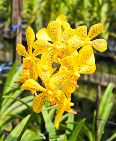 Beautiful yellow orchid in garden Stock Photo - 17474506