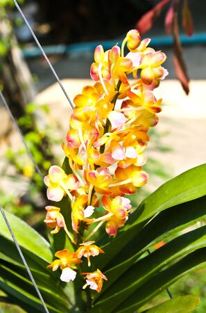 Beautiful orchid in garden Stock Photo - 17474530