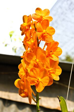Beautiful orchid in garden Stock Photo - 17474511