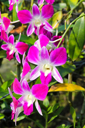 Beautiful orchid in garden Stock Photo - 17474539