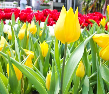 Colorful Tulips in Garden Stock Photo - 17474495