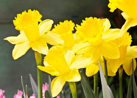 Colorful Tulips in Garden Stock Photo - 17474509