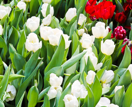Colorful Tulips in Garden Stock Photo - 17474551