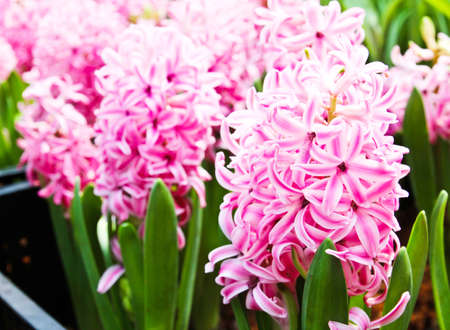 Colorful Tulips in Garden Stock Photo - 17474547