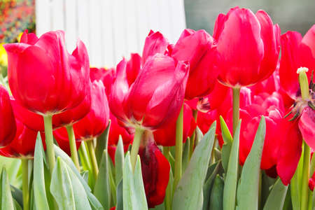 Colorful Tulips in Garden Stock Photo - 17474553