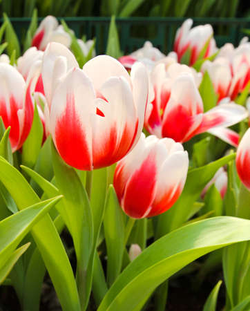 Colorful Tulips in Garden Stock Photo - 17474502