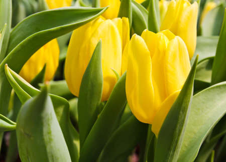 Colorful Tulips in Garden Stock Photo - 17474510