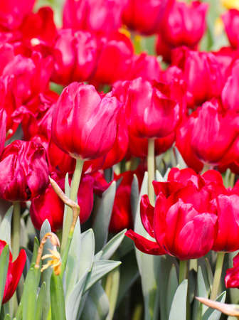 Colorful Tulips in Garden Stock Photo - 17474524