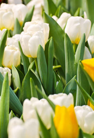 Colorful Tulips in Garden Stock Photo - 17474538