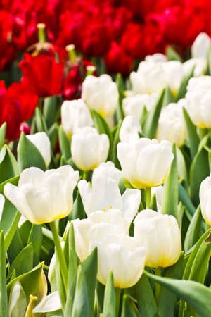 Colorful Tulips in Garden Stock Photo - 17474540