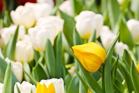 Colorful Tulips in Garden Stock Photo - 17474537