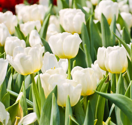 Colorful Tulips in Garden Stock Photo - 17474494