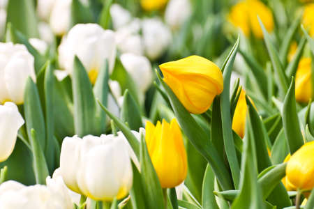 Colorful Tulips in Garden Stock Photo - 17474534
