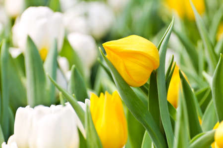 Colorful Tulips in Garden Stock Photo - 17474531