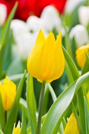 Colorful Tulips in Garden Stock Photo - 17474535