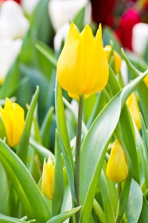 Colorful Tulips in Garden Stock Photo - 17474549
