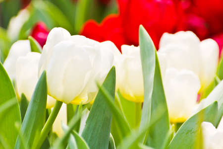 Colorful Tulips in Garden Stock Photo - 17474527