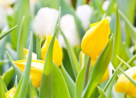 Colorful Tulips in Garden Stock Photo - 17474504