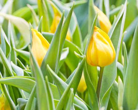Colorful Tulips in Garden Stock Photo - 17474493