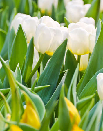 Colorful Tulips in Garden Stock Photo - 17474517