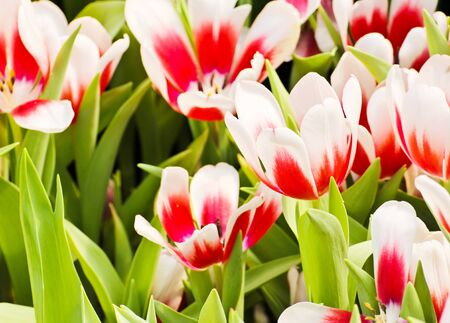 Colorful Tulips in Garden Stock Photo - 17474501