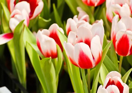 Colorful Tulips in Garden Stock Photo - 17474521
