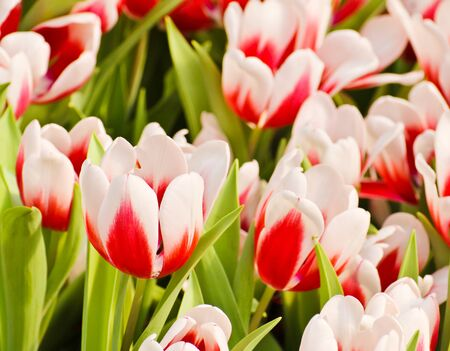 Colorful Tulips in Garden Stock Photo - 17474491